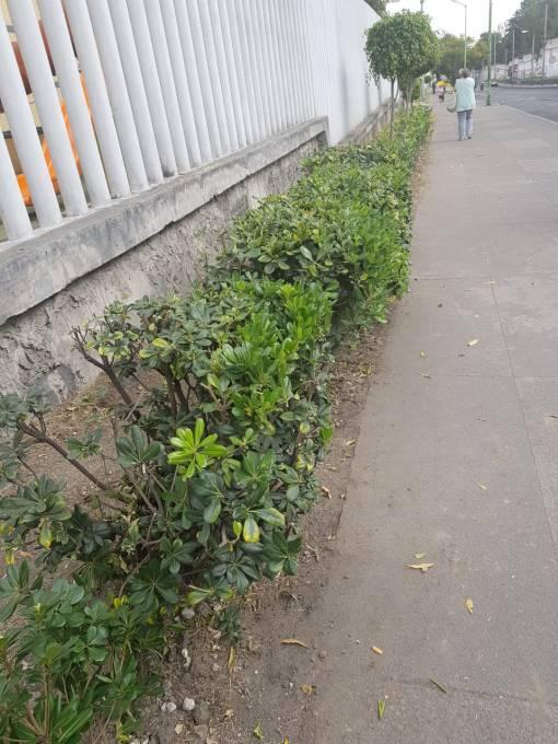 Arbustos donados por la Alcaldía en Calzada México-Tacuba